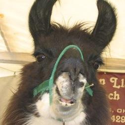 Talking_llama