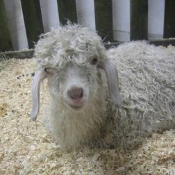 Angora_goat