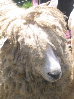 Rasta_sheep