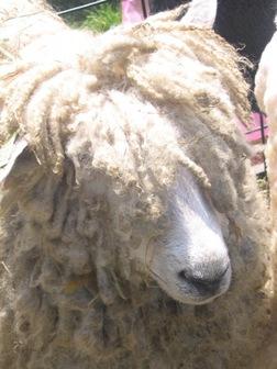 Rasta_sheep