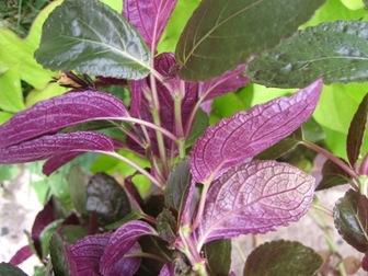 A_bit_o_purple