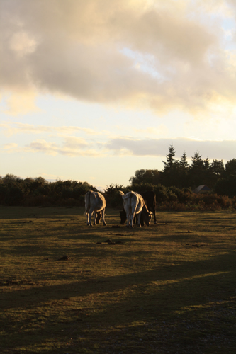 New Forest Cows